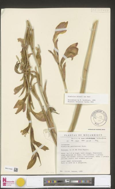 Gladiolus psittacinus Hook.