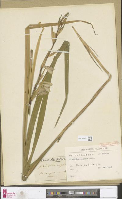 Gladiolus segetum Ker Gawl.