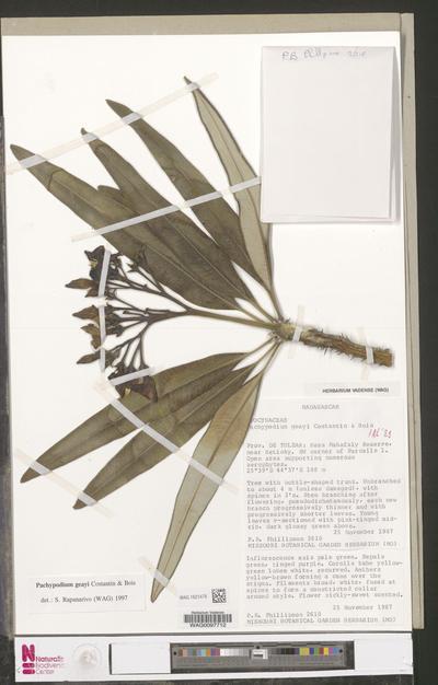 Pachypodium geayi Costantin & Bois