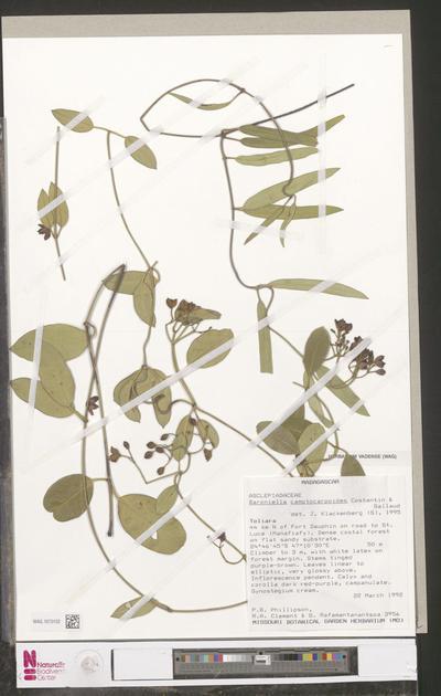 Baroniella camptocarpoides Costantin & Gallaud