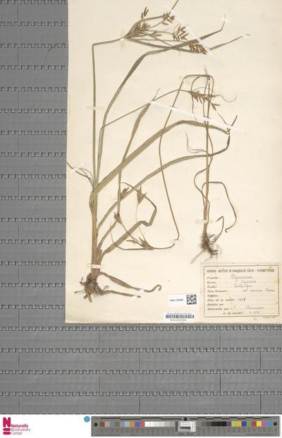 Pycreus nitidus (Lam.) J.Raynal