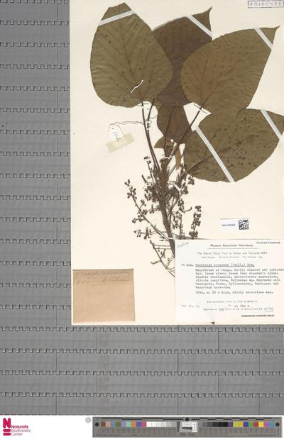 Macaranga capensis (Baill.) Benth. ex Sim