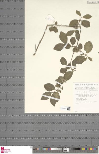 Dianthus  L.