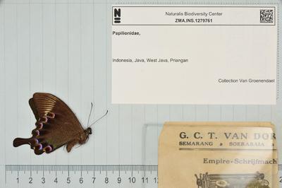 Papilio Achillides paris gedeensis (Fruhstorfer, 1893)