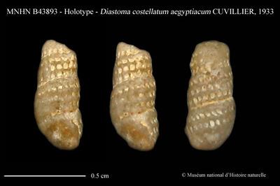 Diastoma costellatum aegyptiacum CUVILLIER, 1933
