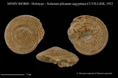 Solarium plicatum aegyptiaca CUVILLIER, 1933