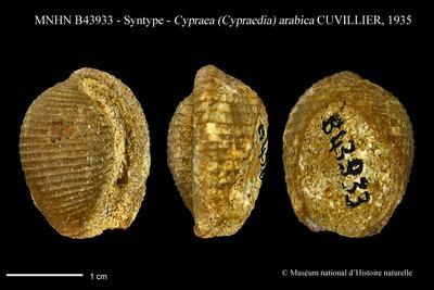 Cypraea (Cypraedia) arabica CUVILLIER, 1935
