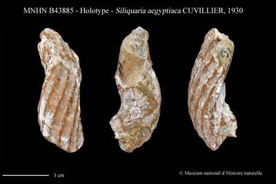 Siliquaria aegyptiaca CUVILLIER, 1930