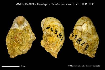 Capulus arabicus CUVILLIER, 1935