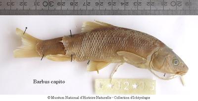 Barbus capito callensis Valenciennes, 1842