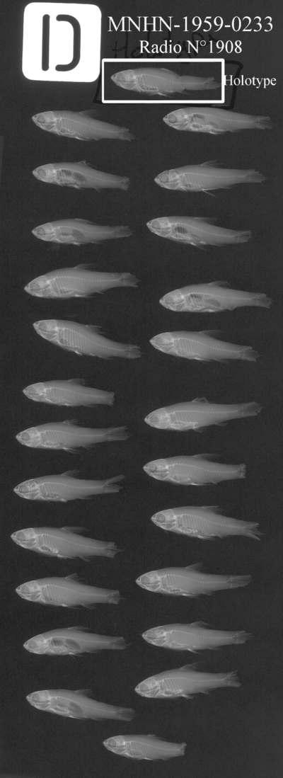 Barbus karoualensis Blache, Miton, 1960