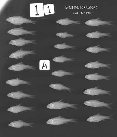 Barbus tiekoroi Lévêque, Teugels & Thys Van Den Audenaerde, 1987