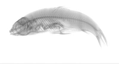 Barbus capito massaensis Pellegrin, 1922