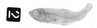 Barbus blanci Pellegrin, Fang, 1940