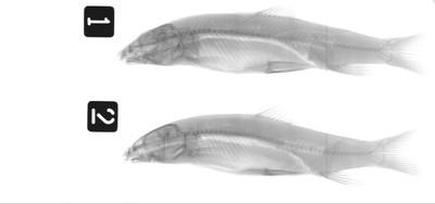 Barbus carpathicus Kotlik, Tsigenopoulos, Rab & Berrebi, 2002
