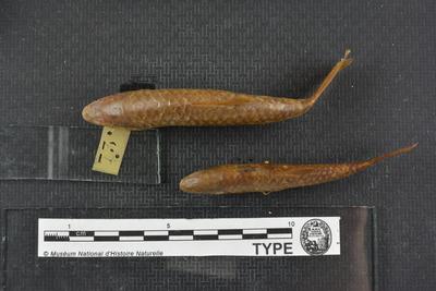 Barbus amphibius (Valenciennes, 1842)