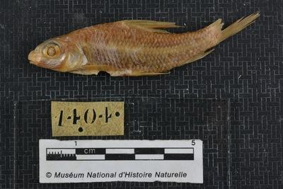 Barbus micropogon Valenciennes, 1842