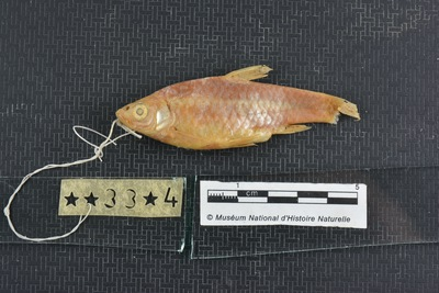 Barbus mohasicus paucisquamata Pellegrin, 1933