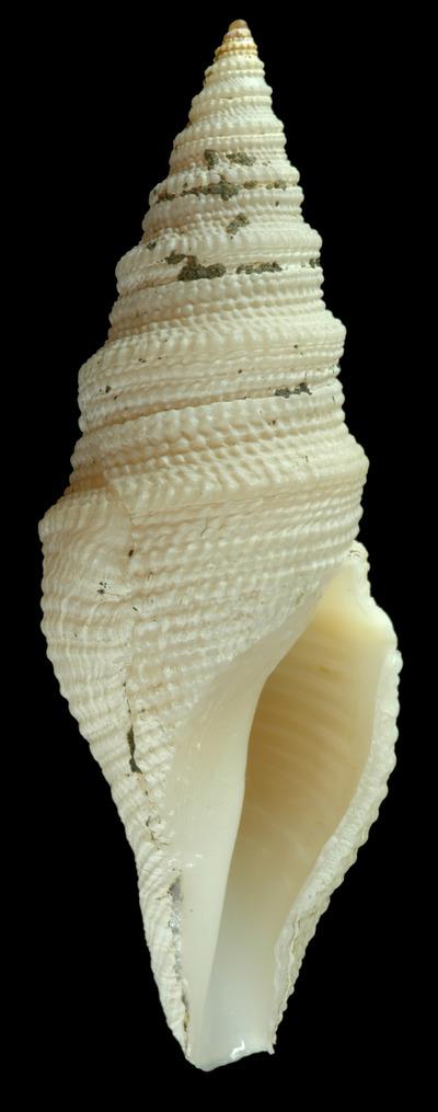 Bathytoma tippetti Vera-Peláez, 2004