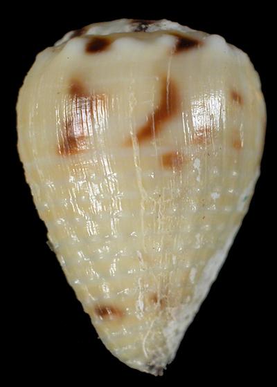 Conus sponsalis Hwass in Bruguière, 1792
