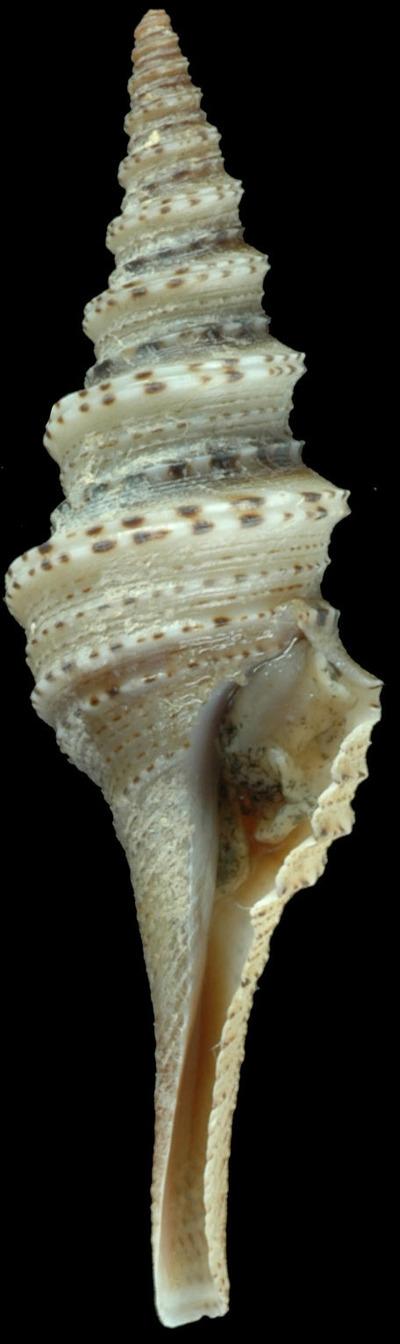 Lophiotoma semfala Puillandre, Fedosov, Zaharias, Azanar-Cormano & Kantor, 2017