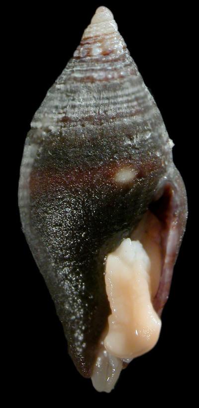 Mitromorpha unilineata Chino & Stahlschmidt, 2014