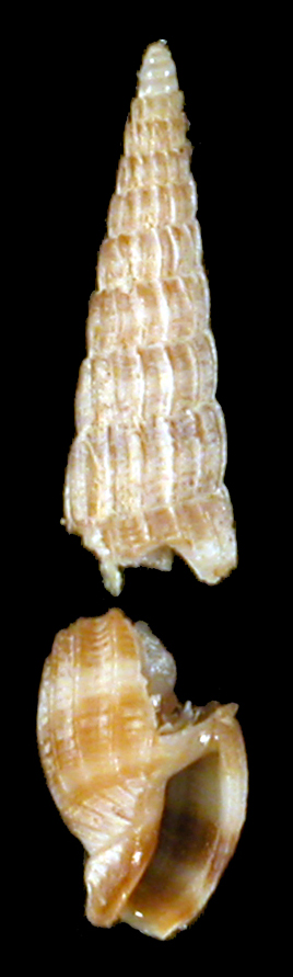 Clathroterebra brunneobandata Malcolm & Terryn, 2012