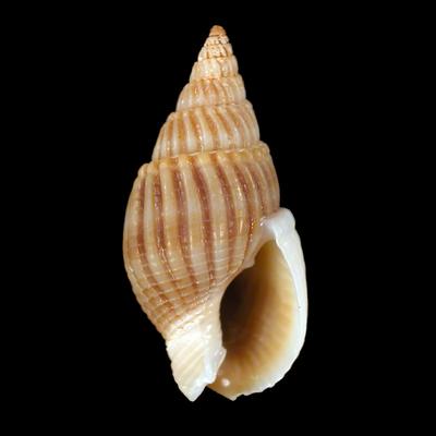 Nassarius (Alectrion) ovoideus (Schepman, 1911)
