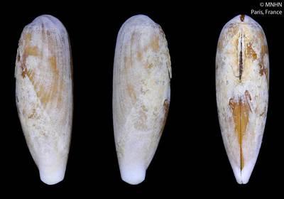 Lithophaga subattenuata Kleemann & Maestrati, 2012