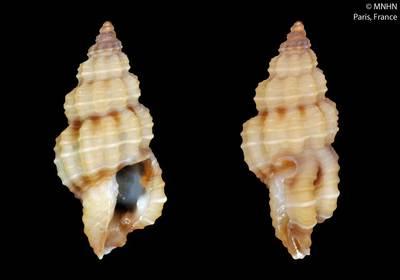 Thetidos tridentata Fedosov & Puillandre, 2012