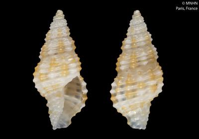 Pseudodaphnella boholensis Fedosov & Puillandre, 2012
