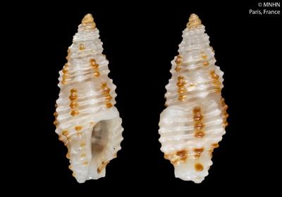 Pseudodaphnella lineata Fedosov & Puillandre, 2012