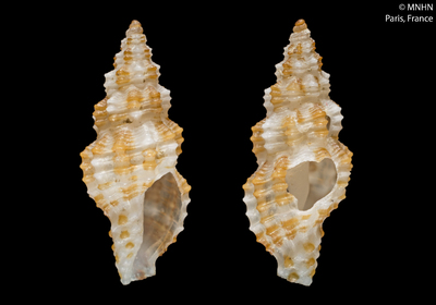 Pseudodaphnella kilburni Fedosov & Puillandre, 2012