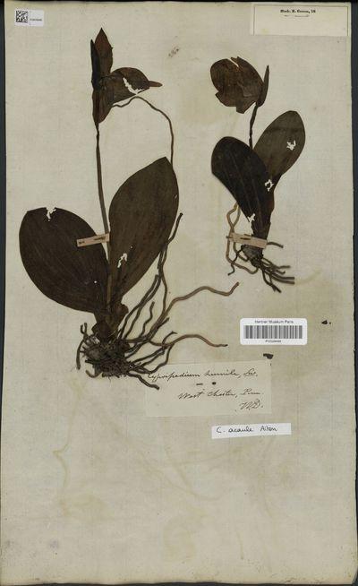 Cypripedium acaule Aiton