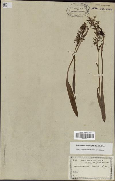Platanthera lacera (Michx.) G.Don
