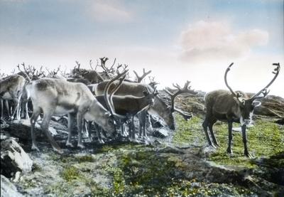 Fra foredragsrekken Landmålerlivet i Finnmark v/Axel Printz : Reinflokk kommer fra kysten