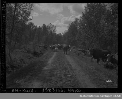 Kyr og geiter på skogsveg