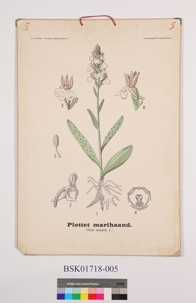 Plettet marihaand (Orchis maculata, L.)