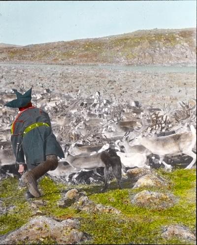 Fra foredragsrekken Landmålerlivet i Finnmark v/Axel Printz : Reinkalvene fanges inn