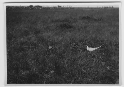'Fisktärna och rödbena på öppen gräsmark, vy med stenmur i bakgrunden. Stengärdesgård. ::  :: Se serie med fotonr. 1305-1356.'