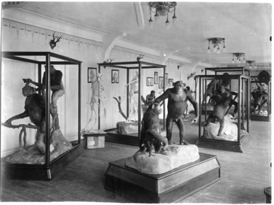 'Grupper av gorillor i utställningssal. Även en människofigur i en monter. ::  :: Ingår i serie med fotonr. 1975-1997.'