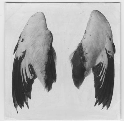 'Från Kjell Kolthoffs Kina-expedition 1921-1923: ::  :: Fasanjacana, hanar, 2 vingar. ::  :: Ingår i serie med fotonr. 2636-2656.'