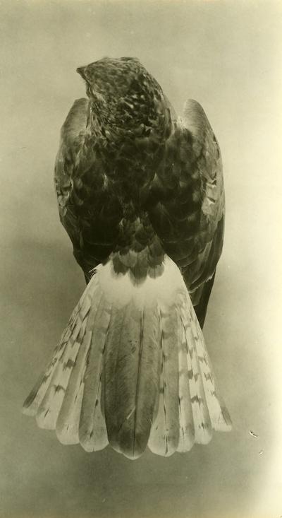 'Blå kärrhök, hane, längd 460 mm, vingen 320 mm. Fynddatum 1915-09-23. ::  :: Finns utställd som montage i monterskåp nr. 239 i fågelgången på Göteborgs Naturhistoriska Museum. ::  :: Se även fotonr. 276.'