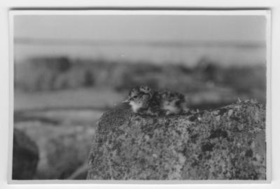 'Roskarl, unge. Ligger uppe på stenblock. Närbild. ::  :: Se serie med fotonr. 3466-3476.'