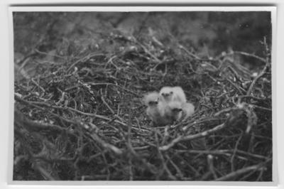 '3 ungar av ormvråk i bo av grenar. ::  :: Ingår i serie med fotonr. 3495-3511.'