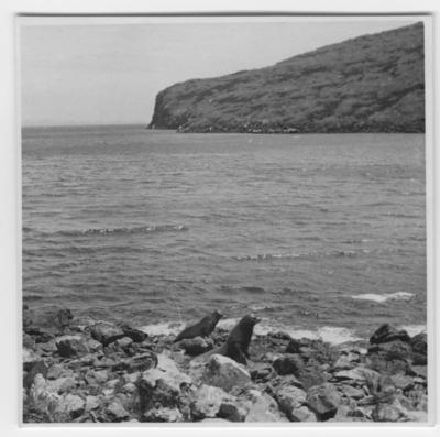 '2 st sjölejon , i förgrunden på strand. ::  :: Se serie med fotonr. 3779-3822.'