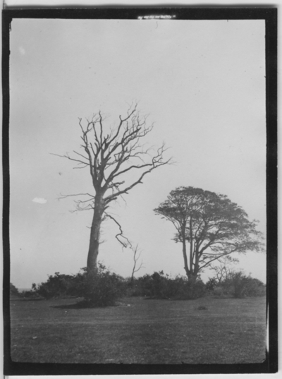 'Biologiska föreningens utfärd till Hallands Väderö: ::  :: Vindpinade träd: :: 2 solitära träd på öppen gräsmark, med någon buskvegetation nertill. ::  :: Se fotonr. 1464 och 4311:1-58 från samma utfärd.'
