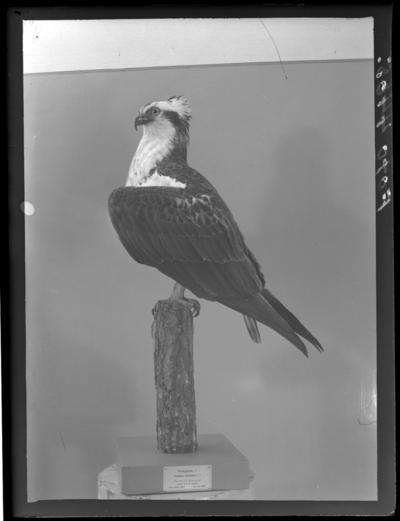 'Fiskgjuse, hane. Fynddatum: 1926-04-23. ::  :: Montaget finns utställt i monterskåp nr. 230 i fågelgången på Göteborgs Naturhistoriska Museum (2008-02-11).'