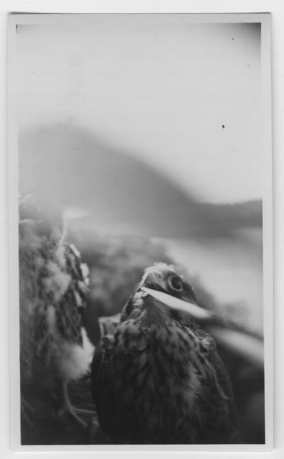 'Närbild på hane av pilgrimsfalk till höger och honan till vänster. ::  :: Ingår i serie med fotonr. 4500:1-172.'