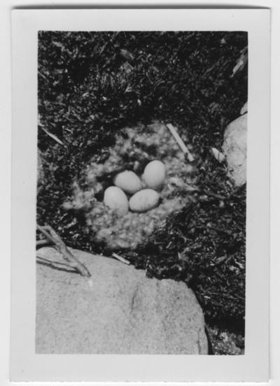'Bo med 4 ejderägg. Dunkrans i boet. ::  :: Text på baksidan av fotot: ''Ejderbo med 4 st fullruvade ägg i tång mellan 2 stora stenar 5 meter från vatten. Man ser det rikliga dunet från honan på bilden.'' ::  :: Ingår i serie med fotonr. 4544:1-35.'